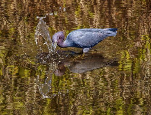 Little Blue Heron 8 7.5 7 22.5 Gary Love  Nature Master