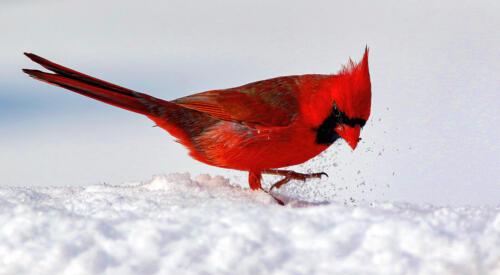 Northern Cardinal 8 8.5 8 24.5 HM DP Gary Love  Nature Master
