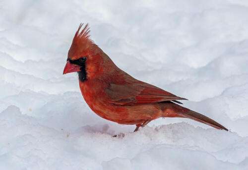 Male Northern Cardinal 8.5 8 7.5 24 HM GPP Terry Ross-Poulton  Nature Gold