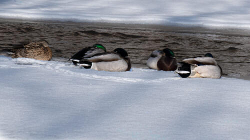 Mallards On A Cold Day 7 6 6 19 John King  Nature Gold