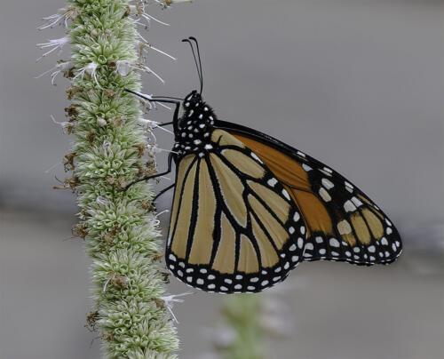 Monarch On Hyssop 9 9 8 26 TC GPP Judy Boufford  Nature Gold