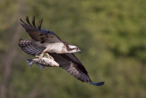 Osprey With Fish 7.5 8 7.5 23 Pat Wintemute  Nature Master