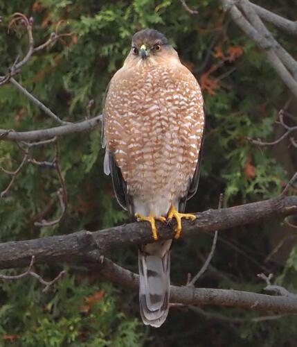 Sharp Shinned Hawk 6.5 7 8 21.5 Graham Jardine  Nature Gold