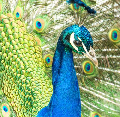 Proud Peacock 5.5 7 6 18.5 Herb McClelland  Nature Gold