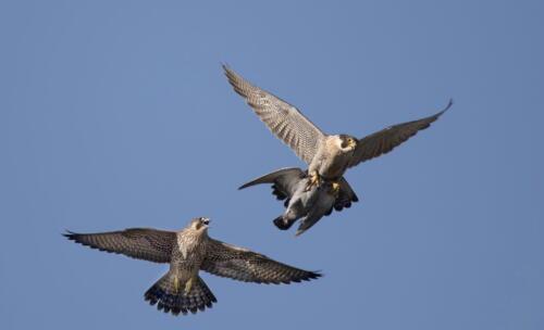 Peregrine Falcons 8 8.5 7 23.5 Pat Wintemute  Nature Master