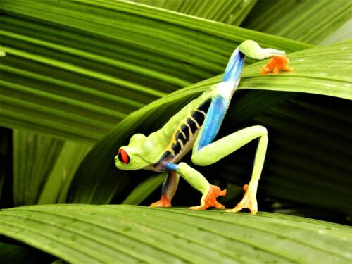 Red-Eyed Frog In Habitat 6 7 6.5 19.5 Barbara Boles-Davis  Nature Gold