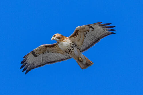 Red Tailed Hawk 6.5 7 7.5 21 Geoff Dunn  Nature Gold