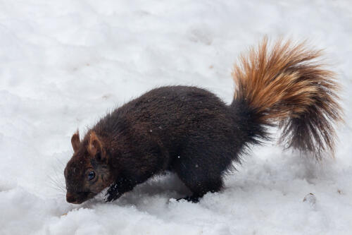 Squirrel In The Snow 8 7 7 22 Terry Ross-Poulton  Nature Gold