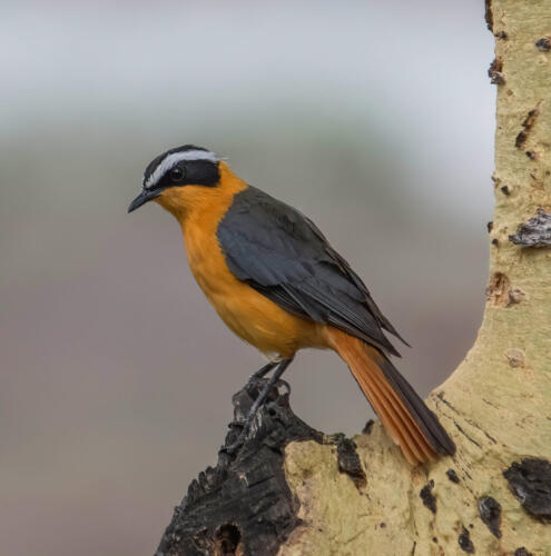 White-Browed Robin-Chat 9 8 8 25 HM GPP Jim Maguire  Nature Gold