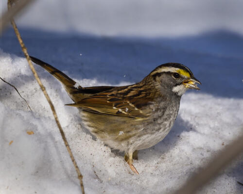 White Throated Sparrow 5.5 7 7.5 20 Carey Hope  Nature Silver