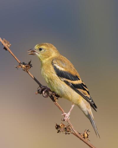 American Goldfinch Feeding 8.5 9 8 25.5 TC GPP Geoff Dunn  Nature Gold