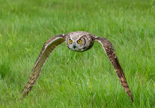 CAPA-BirdsInFlight-2020-TPC-03-Terry_Ross-Poulton-Great_Horned_Owl_in_Flight