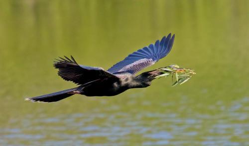 CAPA-BirdsInFlight-2020-TPC-04-David_Seldon-Anhinga_with_nesting_material