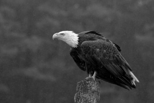 CAPA-Monochrome-2020-TPC-03-Pat_Wintemute-Bald_Eagle