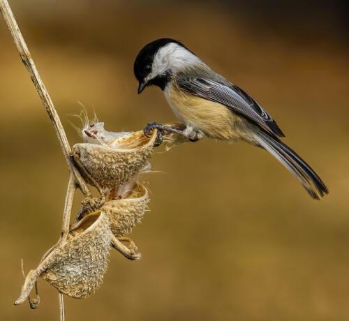 Chickadee On Milkweed Pod 9 9 8 26 TC DP Gary Love  Nature Master