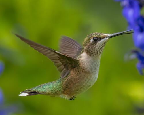 Ruby Throated Hummingbird 8.5 8.5 8.5 25.5 TC GPP Geoff Dunn  Nature Gold