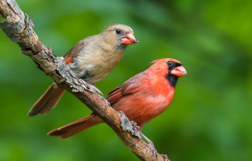 Northern Cardinal Male & Female  by Herb McClelland - Nature