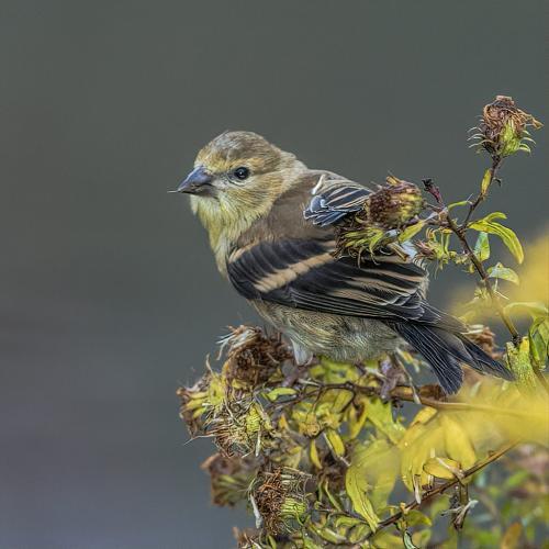 American Goldfinch 20 Gary Love  Nature Master