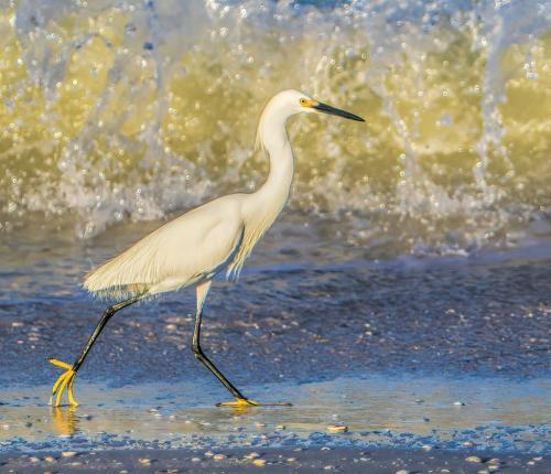 Great Egret 18.5 Gary Love  Nature Master