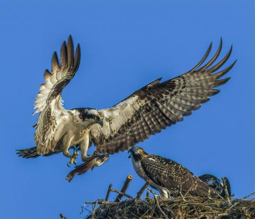 Osprey Feeding 22 Gary Love  Nature Master
