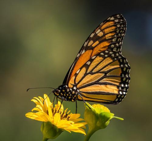 A Monarch Butterfly 25.5 HM GPP David Evans  Nature Gold
