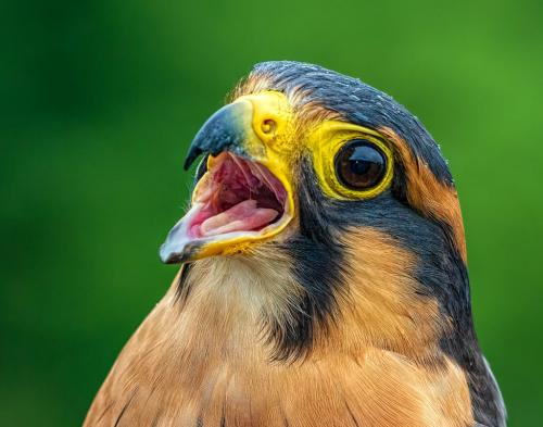 Aplomado Falcon Closeup 23.5 GPP Geoff Dunn  Nature Gold