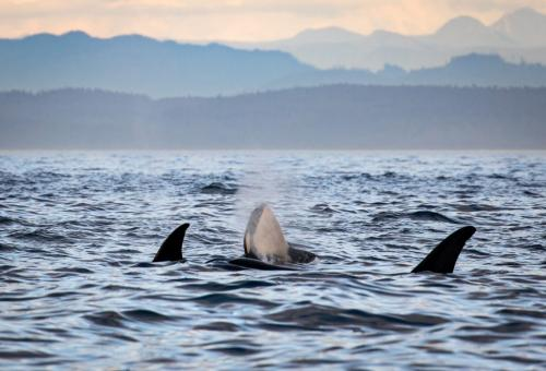 Baby Orca And Family 22.5 David Evans  Nature Gold