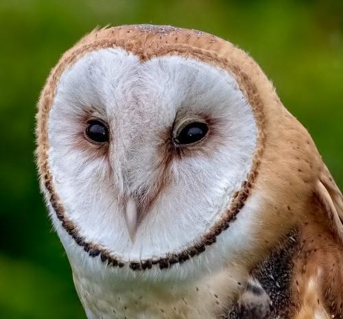 Barn Owl Closeup 23 GPP Geoff Dunn  Nature Gold