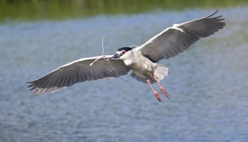 Black Crowned Night Heron 23.5 David Seldon  Nature Master