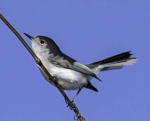 Blue-Gray Gnatcatcher 19.5 Jim Maguire  Nature Gold