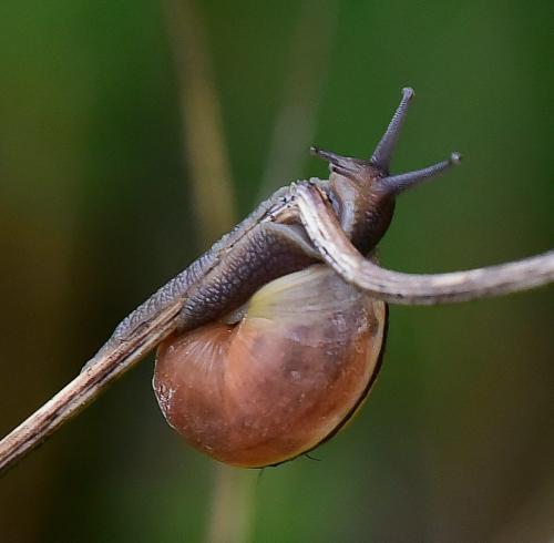 Brown Garden Snail 20 John King  Nature Gold