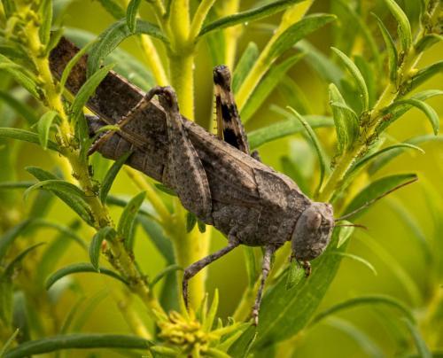 Carolina Grasshopper Eating Leaf 24 GPP David Evans  Nature Gold