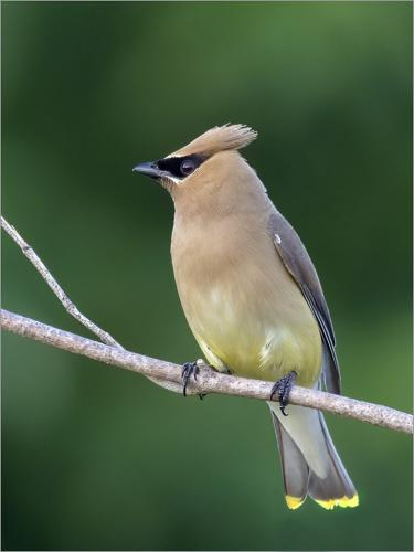 Cedar Waxwing by Peter Chow - Nature