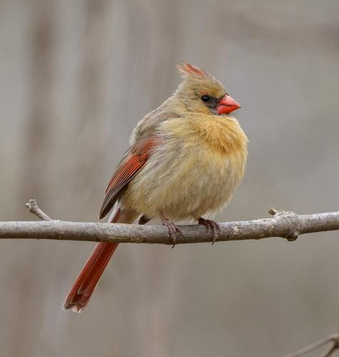Northern Cardinal by Andy Langs - Nature