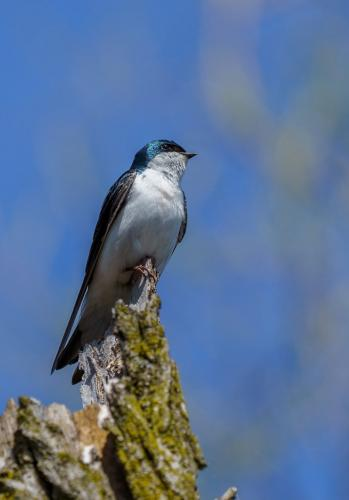 Tree Swallow 20 Andy Langs  Nature Silver
