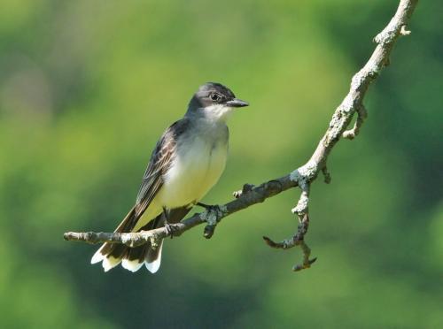 Eastern Kingbird 22.5 Heather Engel  Nature Master