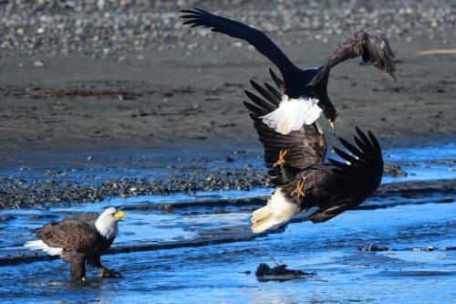 Eagle Attack 22 Peter Bartens  Nature Master