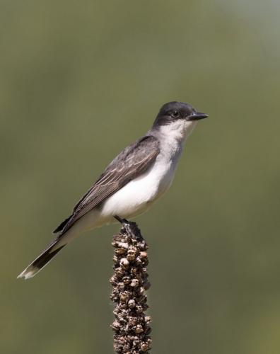 Eastern Kingbird 23 GPP Pat Wintemute  Nature Gold