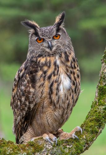 Eurasian Eagle Owl 23 GPP Terry Ross-Poulton  Nature Gold