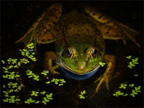 Female Green Frog 22.5 Bela Acs  Nature Gold