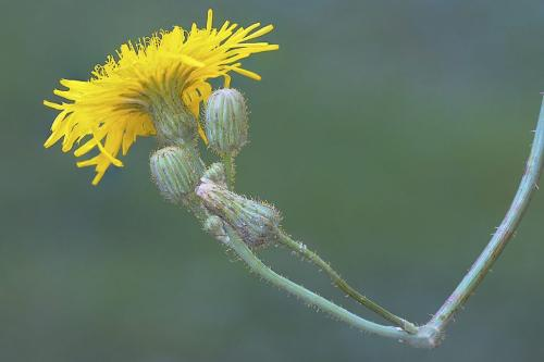 Field Sow Thistle 20 Ed Espin  Nature Gold