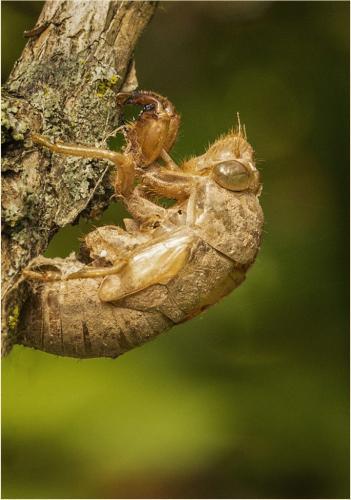 Cicada Exoskeleton 21 Elzbieta Piskorz  Nature Gold
