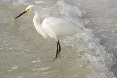Snowy Egret 23.5 GPP Leonie Holmes  Nature Gold