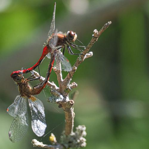 Orange Meadowhawk Dragonflies 19.5 John Strung  Nature Gold