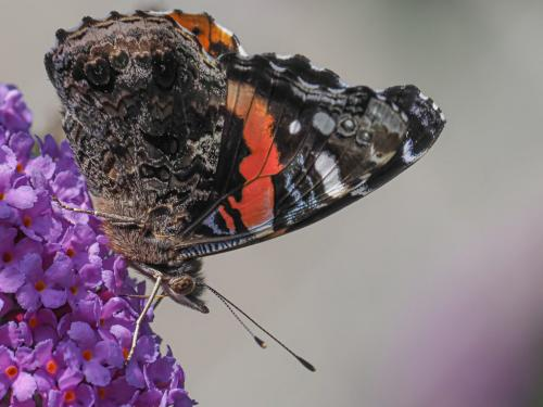 Red Admiral Butterfly 21 John Strung  Nature Gold