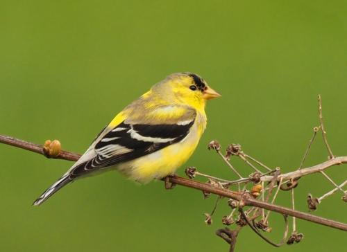 American Goldfinch On Grapevines 20 Colleen Bird  Nature Gold