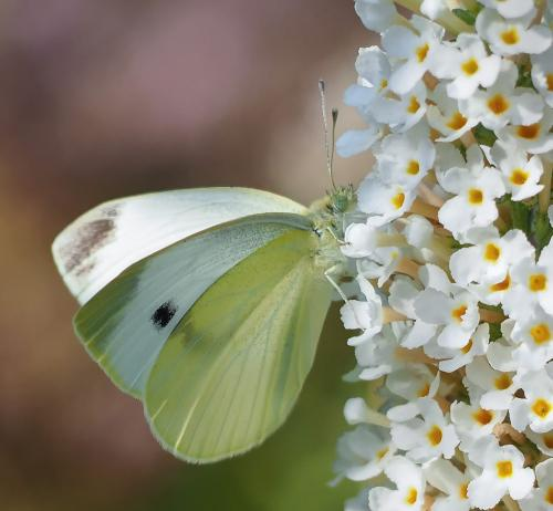 Cabbage Butterfly 19 Colleen Bird  Nature Gold