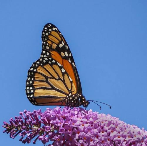 Monarch Butterfly 23.5 GPP Colleen Bird  Nature Gold
