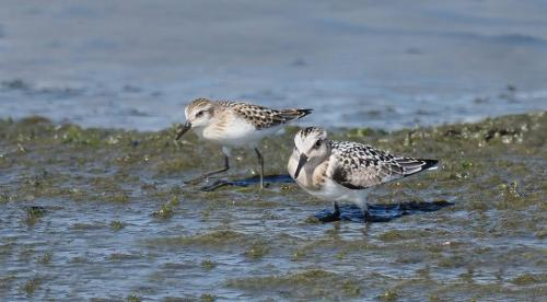 Semipalmated Sanderlings 22.5 Colleen Bird  Nature Gold