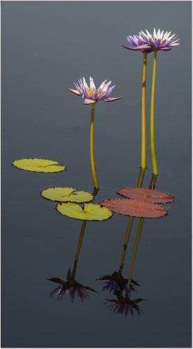 Aquatic Flowers Reflection 22 Elzbieta Piskorz  Pictorial Gold